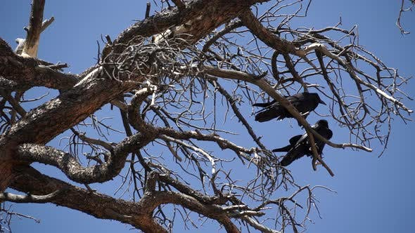 Thumbnail for Two Ravens In Bryce National Park (1 Of 3)