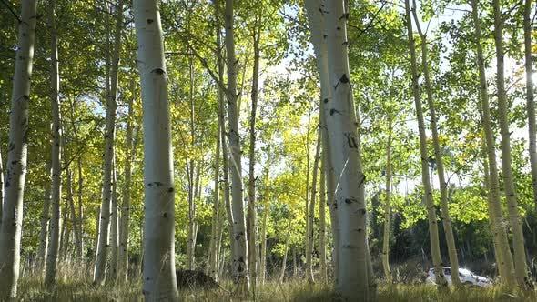 Thumbnail for Dolly Shot Of Aspen Tree Forest 6
