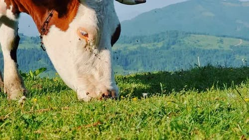 Cow Alone Eating Green Grass on a Meadow on a Sunny Day in the Mountains