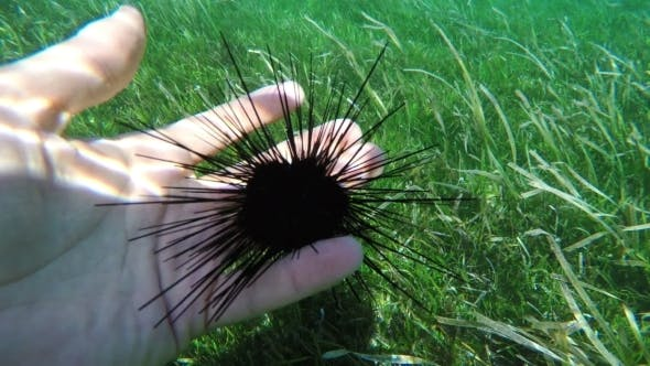 Thumbnail for Sea Urchins On Human Hand