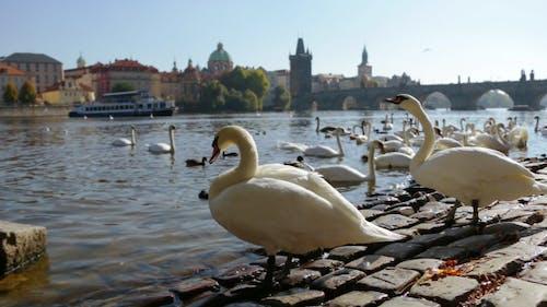 White Swans in Prague
