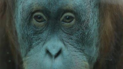 Thoughtful Look Monkey