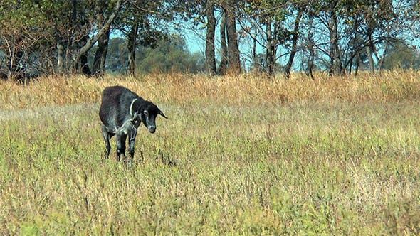 Thumbnail for Black Goat on a Leash