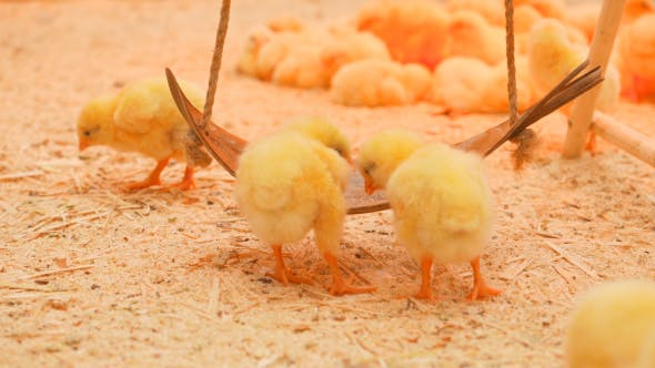 Thumbnail for Small Chicks Play And Relax In The Paddock