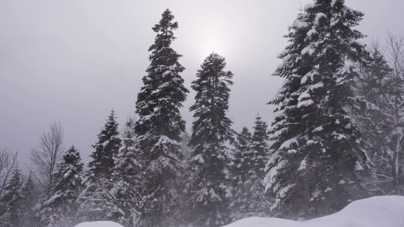 Thumbnail for Snow Storm In Winter Forest