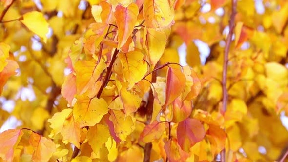 Cover Image for Red and Yellow Autumn Leaves