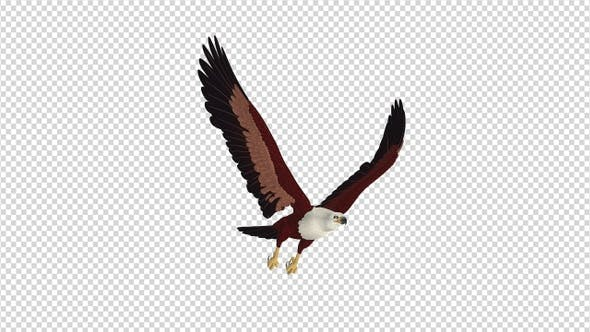 Brahminy Kite - 4K Flying Loop - Side Angle View