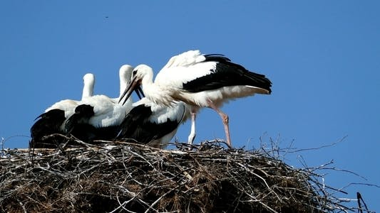 Thumbnail for Storks in Nest 2