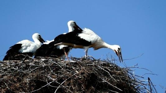 Thumbnail for Storks in Nest 3