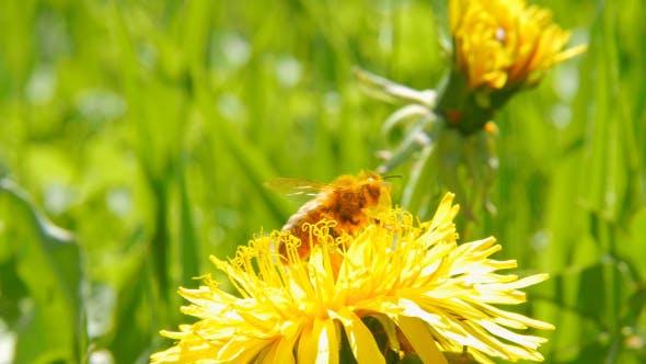 Thumbnail for Bee On Dandelion