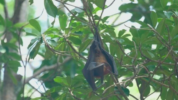 Cover Image for Flying Fox Hangs On a Tree Branch And Washes