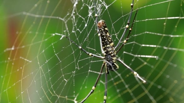 Thumbnail for The Northern Golden Orb Weaver (Nephila Pilipes)