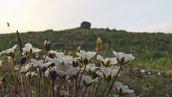 Cover Image for Small White Flowers in the Tundra