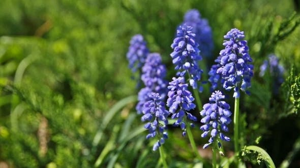 Thumbnail for Muscari Flowers. Deep Blue Flowers On Green Natural Background. Sunny Summer Morning In Garden.