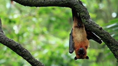 Bat Hanging From Tree