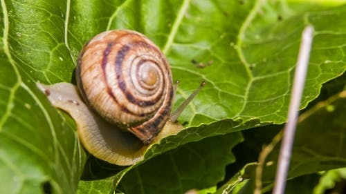 Snail Creeps On a Leaf