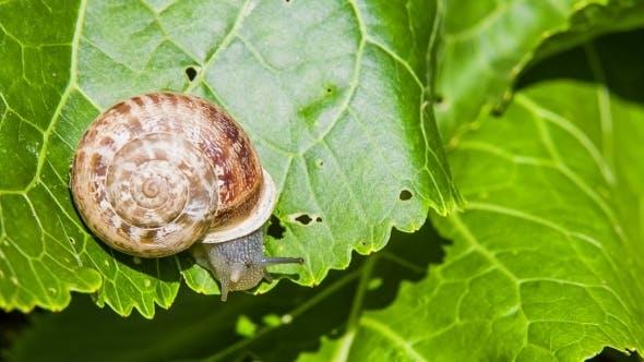 Thumbnail for Snail Eating Green Leaf