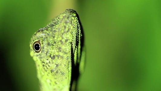 Thumbnail for Gecko Lizard