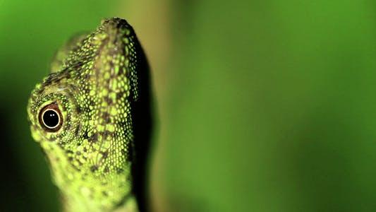 Thumbnail for Curious Gecko