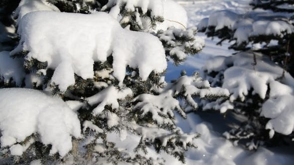 Thumbnail for Snow-covered Fir Trees In Winter Forest
