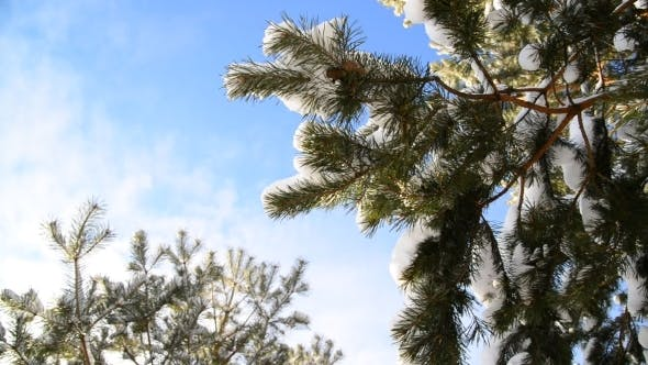 Thumbnail for Snow-covered Fir Branches Against  Blue Sky