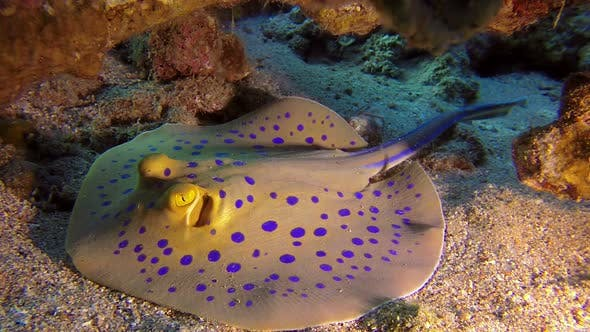 Cover Image for Underwater Colorful Bluespotted Stingray