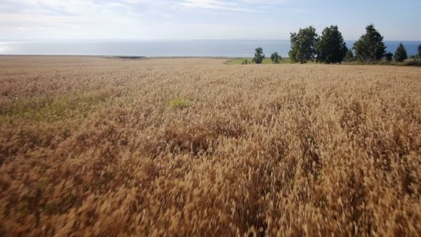 Thumbnail for Aerial: Yellow Field Of Wheat, Blue Sea. Summer Morning.