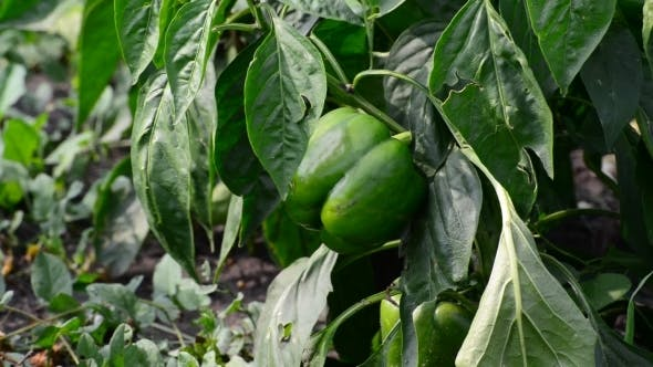 Thumbnail for Green Young Peppers Growing In  Field Or Plantation