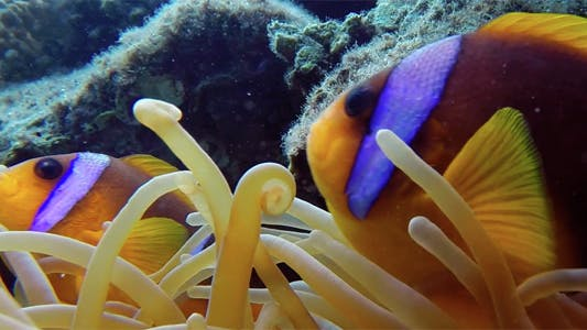 Thumbnail for Beautiful Underwater Clownfish and Sea Anemones