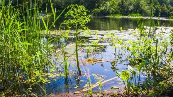 Thumbnail for Algae, Water Lilies And Green Vegetation On The Banks Of The River.