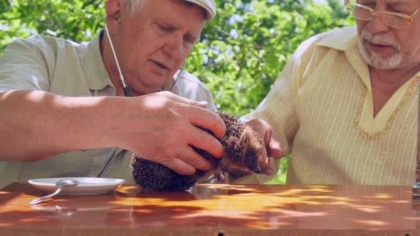 Aged Man with Stethoscope Raises Hedgehog and Animal Shoots
