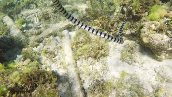 Thumbnail for Banded Sea Snake In Sea