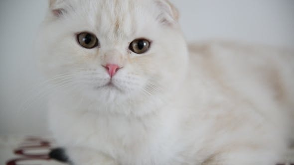 Thumbnail for Beige Scottish Fold Kitten Lay Back On  Couch