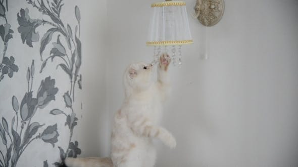 Thumbnail for Kitten Plays With Crystal Pendants Lamps