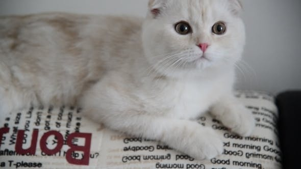 Thumbnail for Beige Scottish Fold Kitten 4 Month Lay Back On  Couch