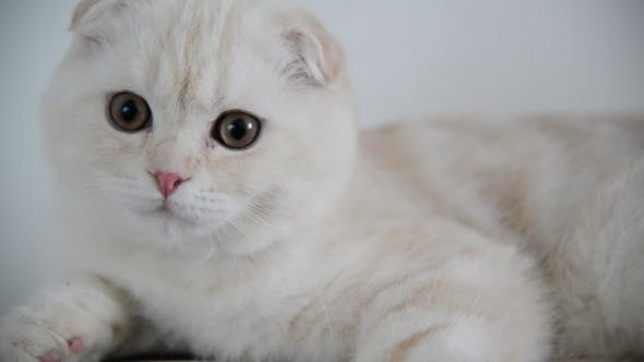 Cover Image for Beige Scottish Fold Kitten 4 Month Lay Back On  Couch