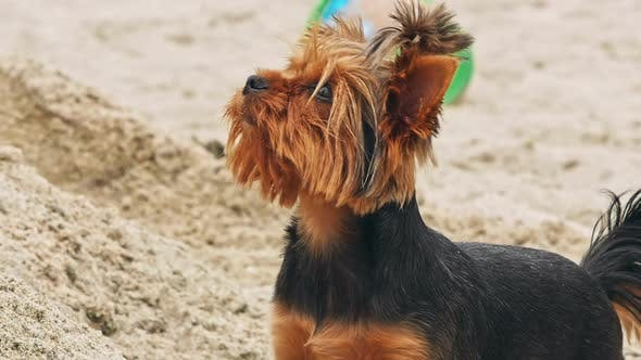 Thumbnail for Small Yorkshire Terrier on a Sandy Beach