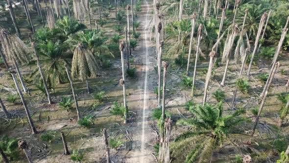 Dead bare oil palm tree.