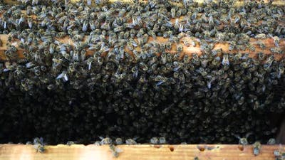 Bees At The Beehive 3