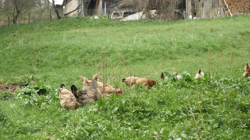 Chickens eating grains on free range farm
