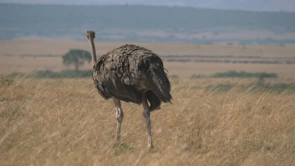 Thumbnail for Female ostrich walking in Masai Mara