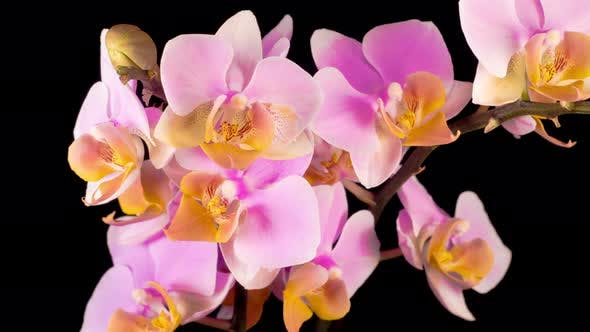 Thumbnail for Blooming Pink Orchid Phalaenopsis Flower