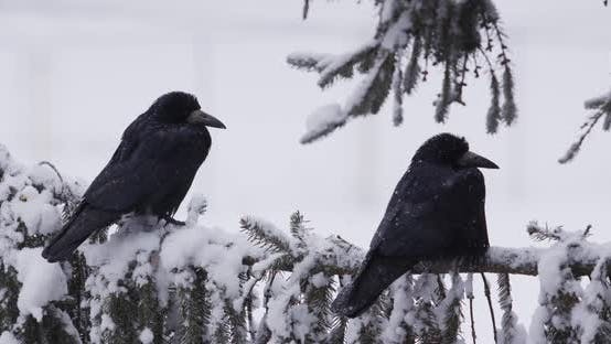 Birds Sitting On A Snowy Branch