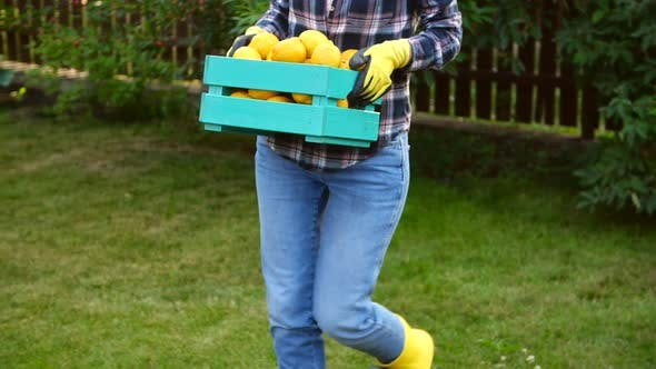 Thumbnail for Happy Woman Hands Holding a Crate with Fresh Ripe Organic Lemons on Farm