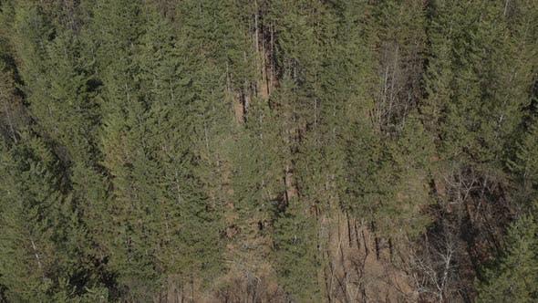 Thumbnail for Forest of European silver fir Abies alba 4K aerial video