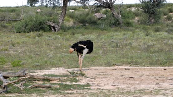 Thumbnail for Ostrich in green Kalahari, Africa wildlife safari