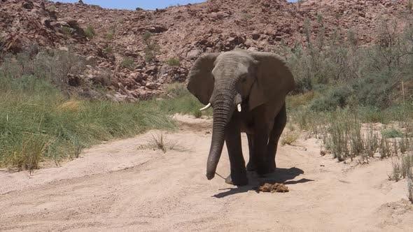 Bull desert elephant walks wild towards the camera