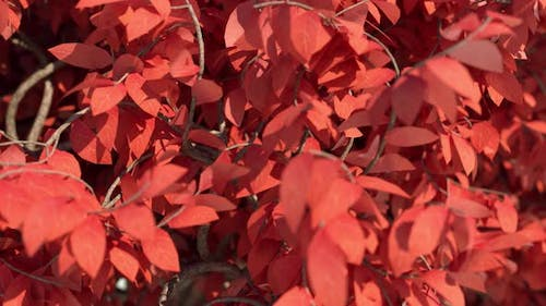 Acer Tree Leaves Close Up In Slow Motion 4k