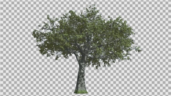 Thumbnail for White Oak Tree is Swaying at The Wind Green Tree