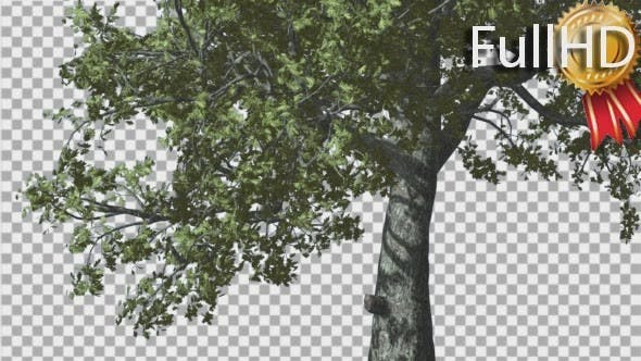 Thumbnail for White Oak Trunk And Lower Branches Tree Swaying